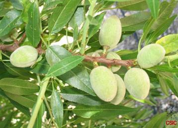 almendros_borrachera