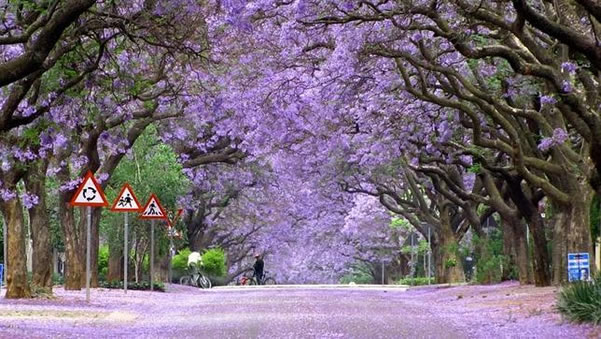 tunel-jacarandas-sudafrica
