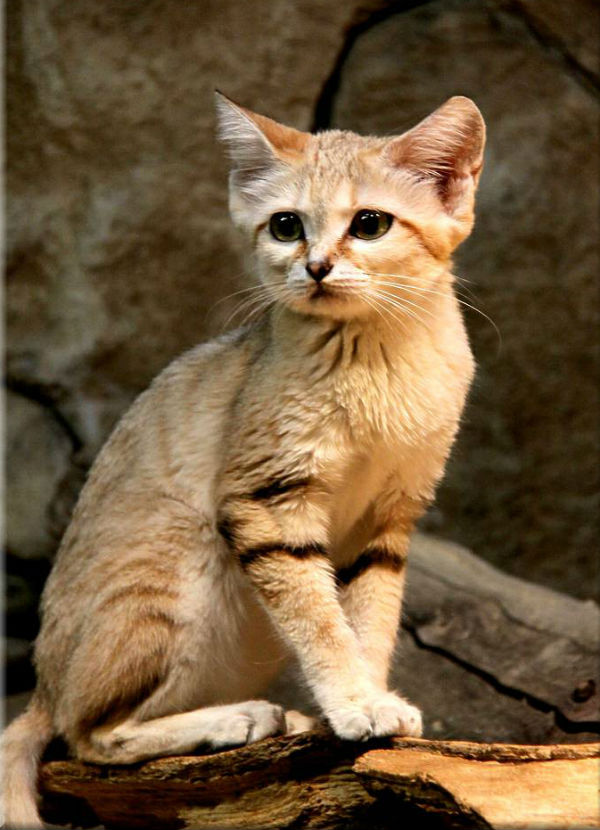 sand cats relationship with humans