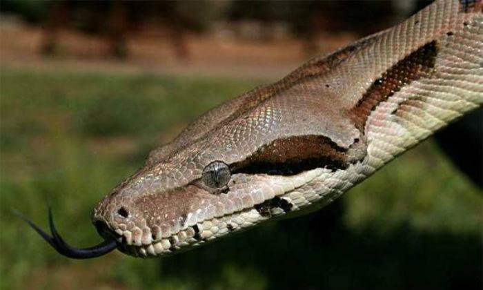 ¿Sabes por qué sacan la lengua las serpientes?