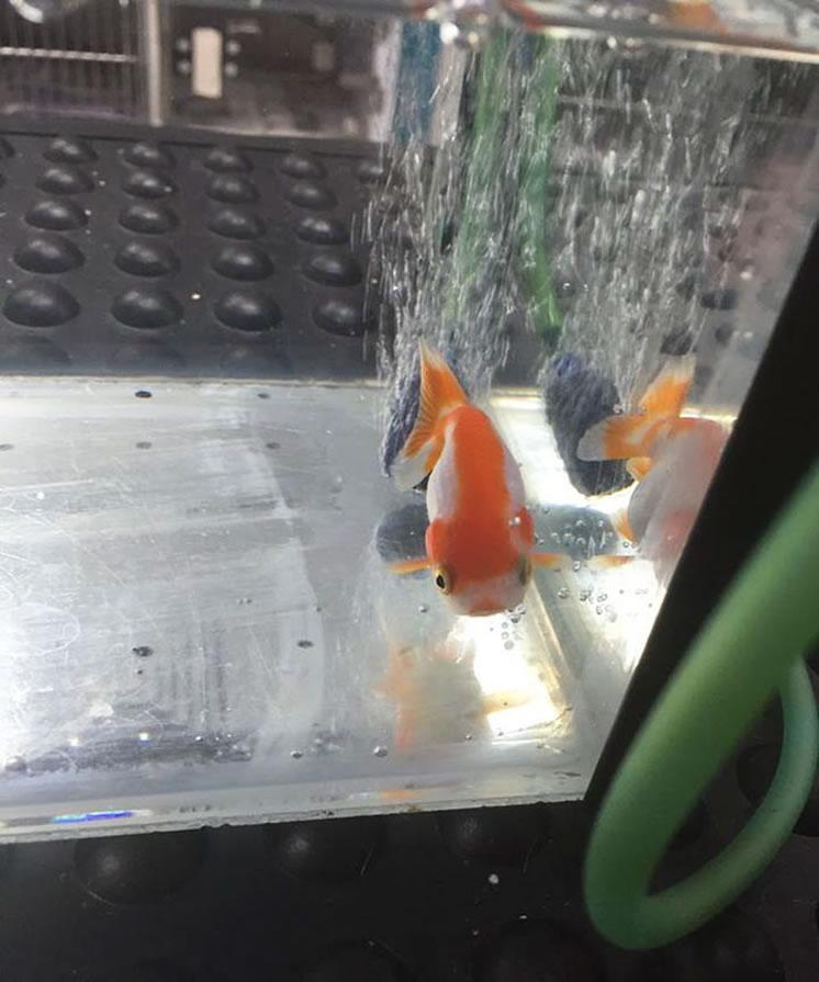 pez-dorado-traga-piedra-curioso3